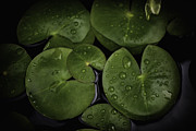 David Longstreath Metal Prints - Rain Drops on Lilly Pads 1 Metal Print by David Longstreath