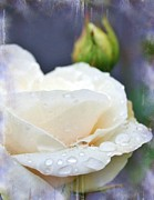 Roses - Rain drops on Roses by Cathie Tyler