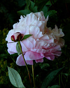 White Flower Photos - Rain-soaked Peonies by Rona Black