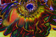 Flower Digital Art - Rainbow Abstract Dying Gerber Daisy by Cindy Boyd