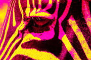 Animal Abstract Photos - Rainbow Animals - Zebra  by Aidan Moran