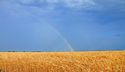 Tim Shipley - Rainbow in Wheat field