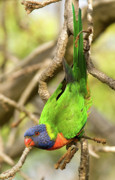 Lorikeet Photos - Rainbow Lorikeet 01 by Rick Piper Photography