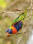 Lorikeet Photos - Rainbow Lorikeet 02 by Rick Piper Photography