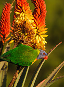 Australian Wildlife Prints - Rainbow Lorikeet 1 Print by Michael  Nau