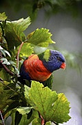 Australian Open Metal Prints - Rainbow Lorikeet 2 Metal Print by Heng Tan
