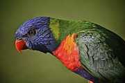 Australian Open Metal Prints - Rainbow Lorikeet 4 Metal Print by Heng Tan