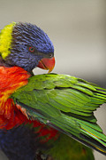 Anne Rodkin - Rainbow Lorikeet