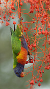 Lorikeet Photos - Rainbow Lorikeet by Bob Christopher