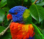 Margaret Saheed Posters - Rainbow Lorikeet Deep In Thought Poster by Margaret Saheed
