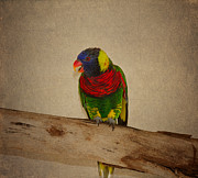 Coloured Plumage Prints - Rainbow Lorikeet Print by Kim Hojnacki