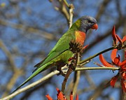 Tomislav Vucic - Rainbow Lorikeet On...