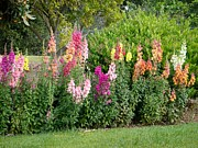 Cindy Collier Harris - Rainbow of Snapdragons...