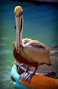 Sea Birds Posters - Rainbow Pelican Poster by Karen Wiles