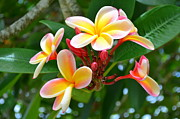 Mary Deal Posters - Rainbow Plumeria - 2 Poster by Mary Deal