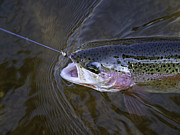 Fly Fishing Prints - Rainbow Trout 4 Print by Thomas Young