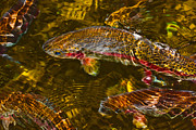 Cari Gesch Metal Prints - Rainbow Trout Metal Print by Cari Gesch