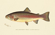 Antique Digital Art Posters - Rainbow Trout Poster by Gary Grayson