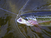 Tommytroutphoto Prints - Rainbow Trout  Print by Thomas Young