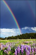 Big Horn  Photography - Rainbows and Lupines