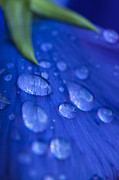 Rain Drop Posters - Raindrop Pansy Poster by Anne Gilbert