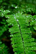 Fern Greeting Cards Framed Prints Posters - Raindrops Poster by Marsha Thornton