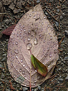 North Vancouver Mixed Media Posters - Raindrops on a Leaf Poster by Janet Ashworth