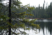 Bwcaw Metal Prints - Raindrops on an Evergreen Metal Print by Larry Ricker