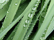 Beads Posters - Raindrops on Blades of Grass Poster by Amy Cicconi
