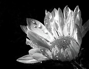 Petal Framed Prints - Raindrops on Daisy Black and White Framed Print by Jennie Marie Schell