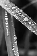 Rain Drop Prints - Raindrops on grass blades Print by Elena Elisseeva