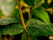 Raindrops Prints - Raindrops On Green Leaves II Print by Marco Oliveira