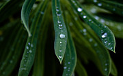 Kitchen Photos Framed Prints - Raindrops on Green Leaves Framed Print by John Daly