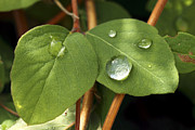 Raindrops On Leaves Framed Prints - Raindrops on leaves Framed Print by Allan Bell