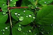 Raindrops On Leaves Framed Prints - Raindrops on Leaves Framed Print by Steve Patton