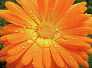 Orange Florals Posters - Raindrops on Orange Daisy Flower Poster by Jennie Marie Schell