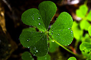 Refreshing Posters - Raindrops on Shamrock Poster by Thomas R Fletcher