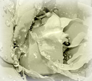 Raindrops On White Rose Print by Katie Wing Vigil