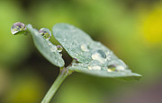Mariola Szeliga - Raindrops on Woodsorrel