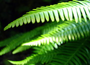 Powell River Metal Prints - Rainforest Fern Metal Print by Ramona Johnston