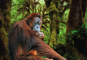Orangutan Digital Art Metal Prints - Rainforest Thoughts Metal Print by Skye Ryan-Evans