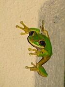 Rainforest Tree Frog Print by Alanna Dumonceaux