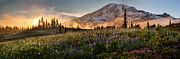 Meadows Photos - Rainier Golden Light Sunset Meadows by Mike Reid