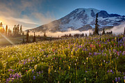 Mount Rainier Framed Prints - Rainier Golden Sunlit Meadows Framed Print by Mike Reid