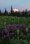 Mt Rainier Prints - Rainier Pastel Dawn Print by Mike  Dawson