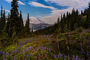 Alpine Lake Framed Prints - Rainier Tipsoo Wildflowers Framed Print by Mike Reid