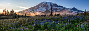 Mount Rainier Framed Prints - Rainier Wildflower Meadows Pano Framed Print by Mike Reid