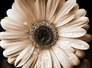 Tan Posters - Rainsdrops on Gerber Daisy Sepia Poster by Jennie Marie Schell