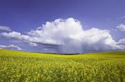 Field. Cloud Prints - Rainstorm Over Canola Field Crop Print by Ken Gillespie