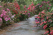 Azaleas Photos - Rainy Azalea Path by Carol Groenen